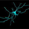 Neurone de projection du striatum